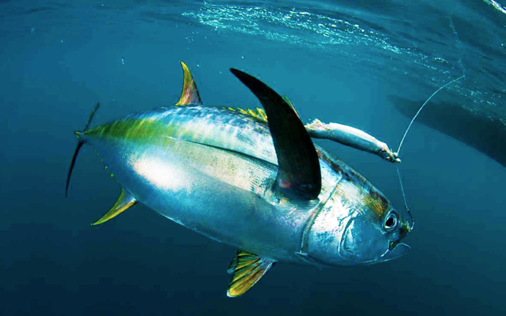 Tuna fishing fish charter curacao for Photos of fish